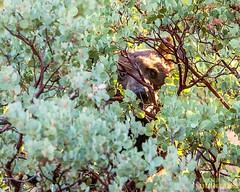 Cinnamon Bear, Ursus americanus cinnamomum, Cedar Grove, Kings Canyon National Park, California (Donald Quintana Nature Photography) Tags: cedargrove kingscanyonnationalpark california riverroad manzanitaberries foraging wildlife carnivore wild mammal mammals predator ursusamericanuscinnamomum cinnamonbear omnivore