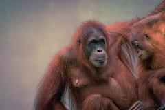Orangutan Sumatera (lody_kalangi) Tags: animal monkey zoo outdoor