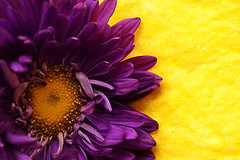 Complementary (Zsofia Nagy) Tags: ourdailychallenge flickrlounge color colors complementary purple yellow flower fleur macro closeup d3100