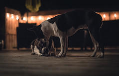 Stewie & Flo (pooshda) Tags: dog dogs boston terrier bostonterrier pets pet night dark lowlight highiso shadows dramatic ambient dof depth shallow focus sony alpha a7rii zeiss 55mm