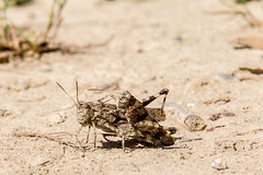 Together (RGaenssler) Tags: oedipoda feldheuschrecken neuflgler insekten dlandschrecken floraundfauna tiere fluginsekten kurzfhlerschrecken tracheentiere sechsfser blauflgeligedlandschrecke gliederfser heuschrecken acrididae arthropoda caelifera criquetailesbleues hexapoda insecta neoptera oedipodacaerulescens oedipodinae orthoptera pterygota tracheata bluewingedgrasshopper
