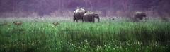 Elephants & Deer Jim Corbett India DSC_7425 (JKIESECKER) Tags: elephants jimcorbetttigerpreserve deer animals wildlife wildlifeviewing india peopleandnature nationalpark protectedareas green purple