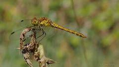 Weibchen der Blutroten Heidelibelle (Oerliuschi) Tags: nature insect fluginsekt heidelibelle