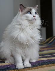 Snow (Rafael Schaidhauer) Tags: nikonflickraward greatphotographers cats animaldeestimação gato