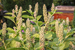 Indische Kermesbeere (Phytolacca acinosa) (blumenbiene) Tags: indische kermesbeere phytolacca acinosa blten flowers frchte fruits beeren essbare asiatische plant pflanze garten garden