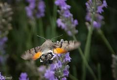 Moro-sphinx ou Sphinx colibri. (Crilion43) Tags: france tamron divers animauxdivers paysage jardin sphinxcolibri insectes vreaux canon lavande centre fleurs bourdon cher morosphinx objectif abeille brouillard gupe herbe nature papillon rflex
