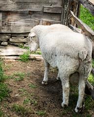 A Different Angle (lclower19) Tags: sheep angle osv sturbridge massachusetts 3352 522016