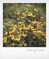 Black-eyed Susan. (jeanne.marie.) Tags: summer iphoneography iphone5s instant flowers blackeyedsusan