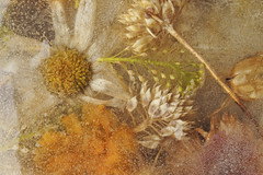 Frozen in Time (charhedman - away on vacation) Tags: ice frozenflowers daisy weeds driedflowers macro bubbles poppy