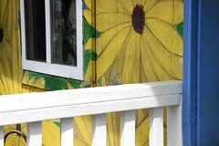 Happy Fence Friday! (ruthlesscrab) Tags: fence fencefriday sunflower lavenderfarm okanagan kelowna bc canada