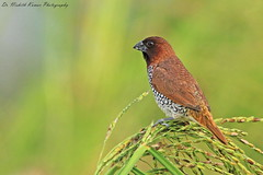 Scaly Breasted Munia (Dr. Nishith Kumar Photography) Tags: scalybreastedmunia munia drnishithkumarphotography drnishith nishith nationalgeographic nationalgeographicworldwide nationalgeography lucknow littlebird colorfullbirds colourfulbird colourful sigma150500 sigma150500mm sgpgims sigma sgpgi safari wildlife wildlifesafari wwf worldsbestpic bird birdphotography birdsofindia birdsofuttarpradesh bokeh bg background bestpic animalplanet aperture goldenhour grassland goldenlight golden canon canon60d india indianbirds indianwildlife indian