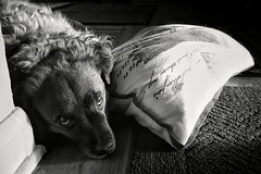 We'll Go Walking Soon, Buddy... (Flickr Goot) Tags: august 2016 samsung galaxay s6 camera phone black white bw rocket dog mutt pet canine available light
