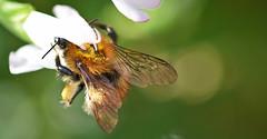Bees Wings. (MWBee) Tags: lobelia flower bee wings beeswings macro sigma mwbee nikon d750 stocktonheath warrington cheshire