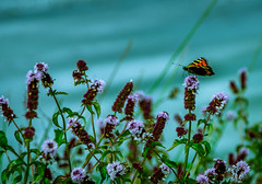 Butterfly by the Lakes (williams19031967) Tags: butterfly butterflies summer meadow lakes lake green pink flowers uk britain england wellingborough stanwick northamptonshire scene brown orange greenery sky dramatic cool effects nikon d7100 d7000 d7200 dslr semi pro all weathers raining wet damp outdoor landscape field