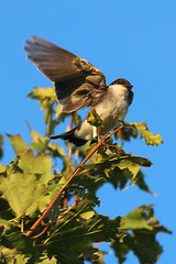 Shake a Wing (A Great Capture) Tags: quebec qc montreal easternkingbird kingbird eastern wildlife nature tree perched wings wing bird agreatcapture agc wwwagreatcapturecom adjm canada canadian photographer northamerica ash2276 ashleylduffus ald mobilejay jamesmitchell summer summertime 2016