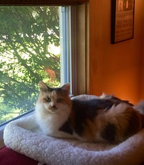 Cleo (Hospice Hearts) Tags: hospicehearts urbana champaign wwwhospiceheartsorg monday 91216 cleo animalrescue adopt adopted foster felines feline foreverhome cat cats rescue adoptionupdate