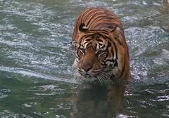 Sparky (IMG_7153) (katalin_kerekes) Tags: smithsoniansnationalzoo sparky sumatrantiger pantheratigrissumatrae water summer