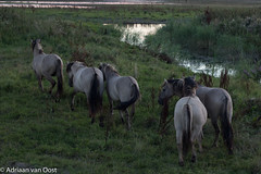 Konik horses (wild) (Adriaan van Oost) Tags: animals biesbosch park national netherlands