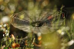 Spider and its web (Helena Normark) Tags: dewyspiderweb spider spiderweb morningdew dew heimdal srtrndelag norway norge sonyalpha7ii a7ii voigtlnder cv5015 nokton5015 nokton50mmf15