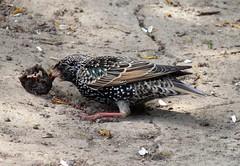 Zoo Ffm Star (Sturnus vulgaris) P1010847 (martinfritzlar) Tags: zoo frankfurt tier vogel singvogel star sturnidae sturnus vulgaris bird starling