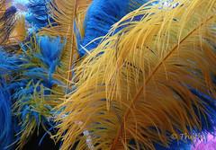 160917 pcfWN 160920  Thethi (thethi: pls read the 1st comment) Tags: plume chapeau couleur fte tradition objet septembre namur wallonie belgique belgium rubyinv faves55