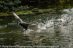 Coot on Water_2 (Philip Pound Photography) Tags: wildlife nature londonwildlifetrust stokenewington hackney coot water bird wader river wildfowl waterfowl