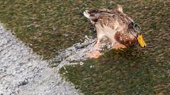Stockente (Mallard Duck) rutsch... (oliver_hb) Tags: bremen stockente ente vogel