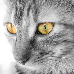 Cat's eyes [Explored] (Pics_Fab) Tags: chat eye yeux oeil nb bw cat animal flin