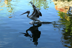 (jc.dazat) Tags: oiseau bird plican nature reflet reflection photo photographe photographie photography canon jcdazat