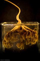 Umbellula 1 (Elvar H) Tags: arcticocean helmerhansen jermak siarctic bentos umbellula