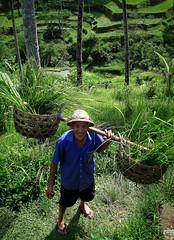 Rice farmer (PeterCH51) Tags: bali indonesia rice terraces farmer riceterraces ubud paddies ricefarmer tegallalang earthasia peterch51 flickrtravelaward