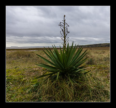 Spiky plant on the beach (Travels with a dog and a Camera :)) Tags: uk england southwest west digital photoshop bristol walking bay dc sand pentax unitedkingdom south north sigma somerset coastal 1020mm channel febuary 43 k5 northsomerset lightroom bristolchannel cs6 sandbay 2013 1456 kewstoke justpentax sigma1020mm1456dc pentaxk5 photoshopcs6 lightroom43