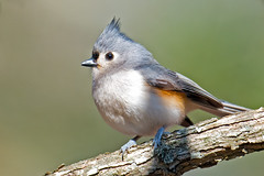 Tufted Titmouse (Brian E Kushner) Tags: new birds animals creek nikon wildlife nj management area jersey titmouse f4 tuftedtitmouse d800 birdwatcher hammonton baeolophusbicolor 600mm afsnikkor600mmf4gedvr nikond800 bkushner brianekushner nikon600mmf4afsvr hammontoncreekwildlifemanagementarea