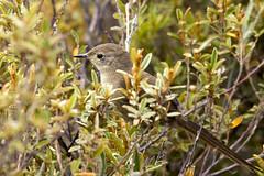 Asthenes moreirae (Gustavo Forreque) Tags: bird nature birds canon eos rebel natureza aves ave es espiritosanto t3i