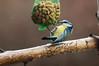 DSC02385.jpg (tharwan) Tags: bird titmouse vogel meise cz135