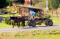 0275 Pferd und Wagen - Pferdefuhrwerk mit Mist beladen; Dorf auf dem Weg nach Eger / Ungarn. (stadt + land) Tags: mist dorf pferd wagen beladen pferdefuhrwerk