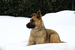 chien des neiges (Steph Blin) Tags: winter dog chien snow animal hiver neige
