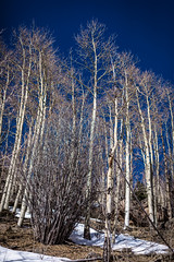 Whispering Aspens Curving Up (Mabry Campbell) Tags: wood blue trees winter usa white mountain snow cold newmexico santafe tree nature forest landscape photography 50mm countryside us photo woods whispering photographer unitedstates image unitedstatesofamerica bluesky alpine photograph trunk aspens f22 100 24mm trunks february nm aspen photogragher ef50mmf14usm 2013 santafecounty ¹⁄₆₄₀₀sec eos5dmarkiii mabrycampbell february152013 whisperingaspen whisperingaspens 201302150h6a0351