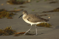Out for a walk on the beach. (mghornak) Tags: bird beach gulfofmexico canon texas shore sandpiper shorebird willet wader winterplumage wadingbird canoneos50d