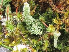 Cladonia bellidiflora? (chaerea) Tags: trees tree nature mushroom vancouver moss woods bc fungi lichen mycology fruticoselichen cladoniabellidiflora