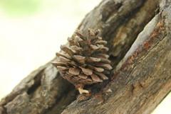 Fruit sec (saranias) Tags: nature fruit pin sec marron arbre sapin racine tronc branche génération