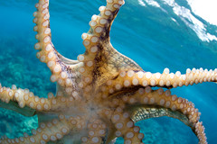 water project #75: eight arms (bluewavechris) Tags: ocean life sea inspiration nature water animal coral swim canon hawaii marine underwater snorkel legs wildlife dive maui fisheye dome 7d octopus reef creature eight eightlegs hee 815 tako tentacles disks suckers bigeye freedive cmtwaterhousing