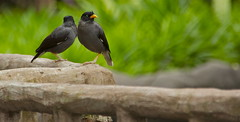 IMG_9222 (winter_traveller) Tags: color birds animals singapore normal feathered singaporezoo mynah