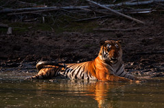 Tiger-male-alpha-wounded-water-drink (mechstar) Tags: india male nikon tiger sigma jungle huge alpha 500mm gupta sandip bandipur