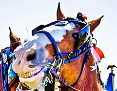 Say Cheese (lightstagephotography) Tags: horse canon photography budweiser equine clydesdale horsebreeds horsephotography
