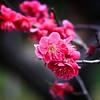 Frühlingserwachen (Belteshazzar (AKA Harimau Kayu)) Tags: city urban japan tokyo spring cityscape plum metropolitan urbanscape redplum awakeningofspring frülingserwachen frülings hamaryikyu