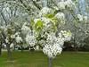 White Blossoming Trees - 4 - (tamara lewis29) Tags: california sacramento hennysgardens