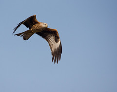 Llanddeusant Red Kite Feeding Station #16 (PontyCyclops) Tags: red kite station feeding llanddeusant