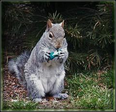 My St. Paddy Peanut (MissyPenny) Tags: irish squirrel pennsylvania wildlife peanut stpaddy easterngreysquirrel greysquirrelwildlife pdlaich missypenny