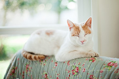White, red and sleepy (*Les Hirondelles* Photography) Tags: sleeping portrait pet sun white house home animal cat nose feline nap quiet quilt bright sleep peaceful sunny indoor livingroom sleepy lazy whisker snooze rest napping inside resting armchair per domesticcat lay pinknose lazycat lazing flowered blissful blissfulness thoughtfullness